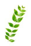Odosobniony zielony liść Zdjęcia Stock