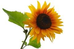 odosobnionych liść słonecznikowy biel Obraz Stock