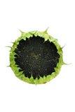 odosobnionych ziaren słonecznikowy biel Zdjęcie Stock