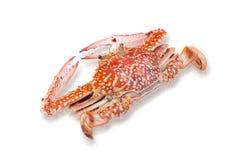Odparowany koński krab odizolowywający na bielu Obrazy Royalty Free