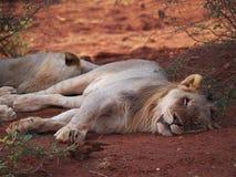 odpocząć lwicy Obrazy Stock