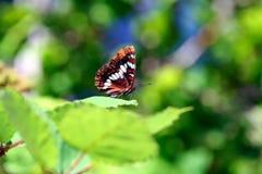 odpocząć motyla Zdjęcie Royalty Free