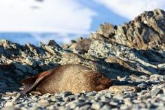 Odpoczynkowa foka na plaży przy Przyrodniej księżyc wyspą, Antarctica obrazy stock