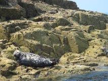 Odpoczynkowa foka na skałach Zdjęcie Royalty Free