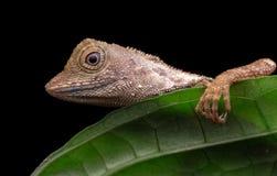 Odpoczynkowa jaszczurka przy liściem obraz royalty free