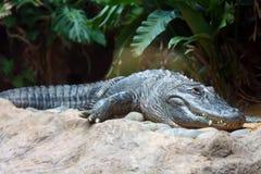 odpoczynkowa krokodyl woda Zdjęcie Stock
