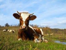Odpoczynkowa krowa Zdjęcia Stock