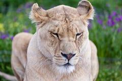 Odpoczynkowa lwica Fotografia Stock