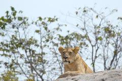 odpoczynkowa lwicy skała Fotografia Royalty Free