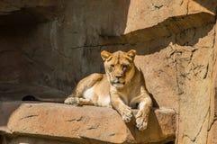 odpoczynkowa lwicy skała Obrazy Stock