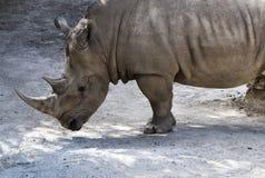 odpoczynkowa nosorożec Fotografia Royalty Free