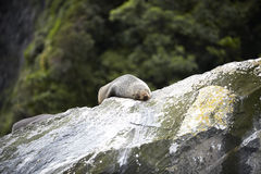 odpoczynkowa rockowa foka Fotografia Royalty Free