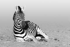 Odpoczynkowa zebra w czarny i biały zdjęcia stock
