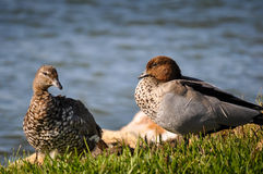 Odpoczynkowe dzikie kaczki Zdjęcia Royalty Free