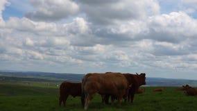 Odpoczynkowe krowy w pi?knym polu zdjęcie wideo