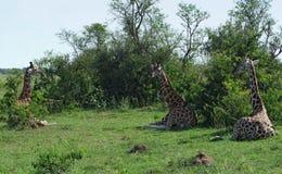 Odpoczynkowe żyrafy w Uganda Zdjęcia Stock