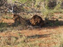 Odpoczynkowi męscy lwy Zdjęcie Stock