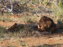 Odpoczynkowi męscy lwy Obraz Royalty Free