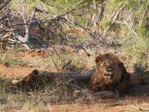 Odpoczynkowi męscy lwy Obrazy Stock