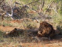 Odpoczynkowi męscy lwy Fotografia Royalty Free