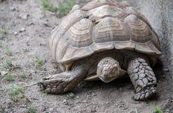 Odpoczynkowy żółw w zoo siedlisku fotografia royalty free