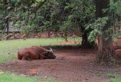 Odpoczynkowy Azjatycki bizon przy zoo Pretoria, Południowa Afryka Zdjęcia Royalty Free