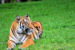 odpoczynkowy Bengal tygrys obrazy royalty free