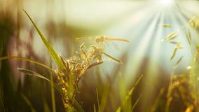 Odpoczynkowy Dragonfly na ostrzu trawa Obraz Royalty Free