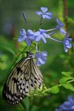 Odpoczynkowy flutterby piękno Zdjęcie Royalty Free