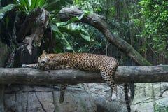 Odpoczynkowy Jaguar Obrazy Stock