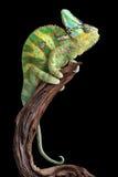 Odpoczynkowy Kameleon Zdjęcia Stock