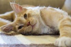Odpoczynkowy kot na kanapie Zdjęcie Royalty Free