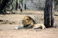 Odpoczynkowy lew Obraz Stock