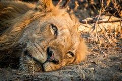 Odpoczynkowy lew w Kruger parku narodowym, Południowa Afryka Obrazy Royalty Free