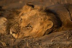 Odpoczynkowy lew w Kruger parku narodowym, Południowa Afryka Obrazy Stock