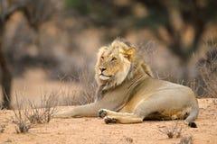 Odpoczynkowy męski Afrykański lew Zdjęcie Royalty Free