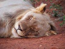 Odpoczynkowy młody męski lew Fotografia Royalty Free