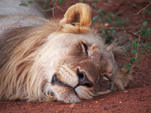 Odpoczynkowy młody męski lew Obrazy Royalty Free