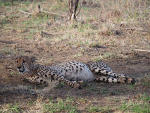 Odpoczynkowy męski gepard Obrazy Stock