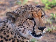 Odpoczynkowy męski gepard Fotografia Royalty Free