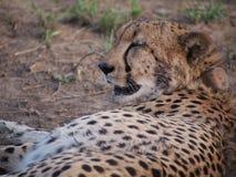 Odpoczynkowy męski gepard Zdjęcie Royalty Free