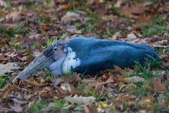 Odpoczynkowy marabut Zdjęcie Stock