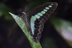 Odpoczynkowy modrak Motyli Makro- 2 Obraz Stock