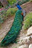 Odpoczynkowy paw w Parque De Los Angeles Paloma, Benalmadena, Hiszpania obraz royalty free