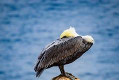 Odpoczynkowy pelikan przy losu angeles Jolla zatoczką w Kalifornia obraz stock