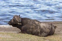 Odpoczynkowy przylądka bizon Obrazy Royalty Free