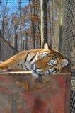 odpoczynkowy tygrys Fotografia Royalty Free