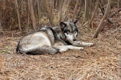 Odpoczynkowy wilk Obraz Stock