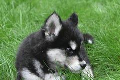 Odpoczywać Dwa miesięcy Alusky szczeniaka Starego psa w trawie Zdjęcie Royalty Free