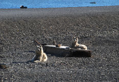 Odpoczywać Ellesmere wyspy sania psy Fotografia Royalty Free
